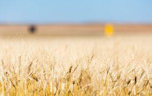 گندم در استان ساسکاچوان